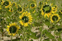 Sunflower plantation vibrant yellow flowers Royalty Free Stock Photos