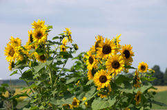 Sunflower Plants Flowering in Rural Garden. Sunflower plants in bloom in a rural flower garden with fields visible in background Stock Image