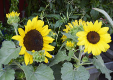 Sunflower Plants in full bloom, for sale to gardeners. A grouping of blooming sunflower plants in pots ready for planting in home gardens, for sale to gardeners Stock Photos