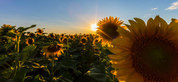 Sunflower plants in rural field, profiled on bright sun light Royalty Free Stock Images