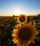Sunflower plants in rural field, profiled on bright sun light Stock Photo