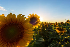 Sunflower plants in rural field, profiled on bright sun light Royalty Free Stock Photography