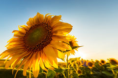 Sunflower plants in rural field, profiled on bright sun light Royalty Free Stock Photo