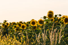 Sunflower plants in rural field, profiled on bright sun light Stock Photography