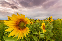 Sunflower plants in rural field, profiled on stormy sky with cumulus clouds Stock Photography