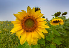 Sunflower plants in rural field, profiled on stormy sky with cumulus clouds Royalty Free Stock Photos
