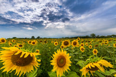 Sunflower plants in rural field, profiled on stormy sky with cumulus clouds Stock Photos