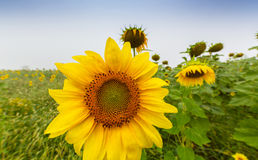 Sunflower plants in rural field, profiled on stormy sky with cumulus clouds Royalty Free Stock Photography