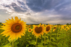 Sunflower plants in rural field, profiled on stormy sky with cumulus clouds Royalty Free Stock Images