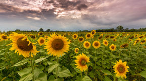 Sunflower plants in rural field, profiled on stormy sky with cumulus clouds Stock Image