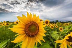 Sunflower plants in rural field, profiled on stormy sky with cumulus clouds Royalty Free Stock Image
