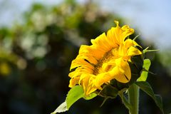 Sunflower In Point Stock Photography