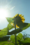 Sunflower Pointing to the Sun Royalty Free Stock Images