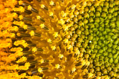 Sunflower pollen Stock Image