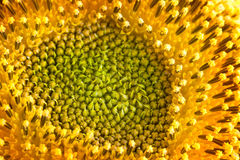 Sunflower pollen Stock Photography