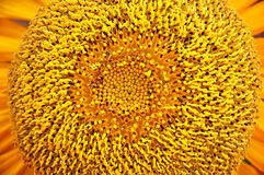 Sunflower pollen. Close up of Sunflower pollen Royalty Free Stock Images