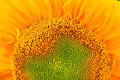 Sunflower pollen. Stock Images