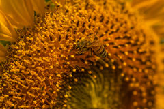 Sunflower pollen on the bee mess. Stock Images