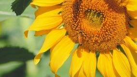 Sunflower pollen and bee stock video footage