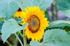 Sunflower pollen Royalty Free Stock Photos