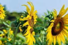 Sunflower pollen Royalty Free Stock Image