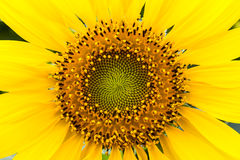 Sunflower pollen Royalty Free Stock Image