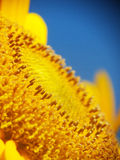 Sunflower pollen Stock Photo