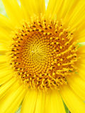 Sunflower pollen Royalty Free Stock Images