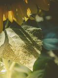 Sunflower pollen Royalty Free Stock Photos