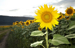Sunflower Pose. Sunflower plants in the field Royalty Free Stock Images