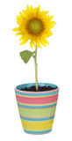Sunflower in a Pot Stock Photography
