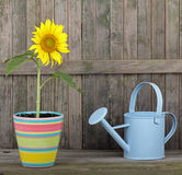 Sunflower in a Pot Stock Photo