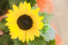 Sunflower in a pot Stock Image