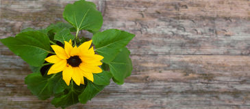 Sunflower pot closeup wooden table background top view Royalty Free Stock Photography
