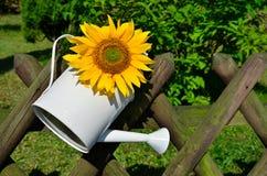 Sunflower pot garden fence Royalty Free Stock Photography
