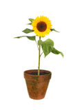 Sunflower in pot Stock Photography