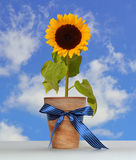 Sunflower in the pot. Stock Image