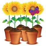 sunflower pots with a butterfly. Vector illustration decorative background design