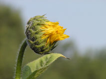 Sunflower profile. Sunflower budding in profile royalty free stock photo
