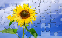 Sunflower puzzle Stock Images