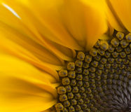 Sunflower. A quart of a sunflower Royalty Free Stock Photography