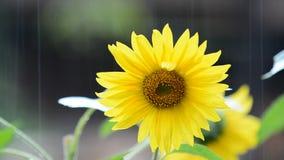 Sunflower in rain Stock Image