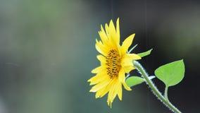 Sunflower in rain Stock Photo