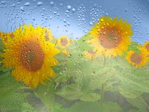 Sunflower in rainy weather, drops on glass and blue sky Stock Photo