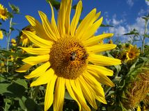 Sunflower Rays. Two bees choose this sunflower out of the meadow to pollinate Royalty Free Stock Image