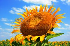 Sunflower reaching for the sky. Yellow sunflower against a blue sky with clouds Royalty Free Stock Photo