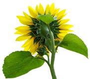 Sunflower Rear Stock Image