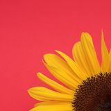 Sunflower on red Royalty Free Stock Images