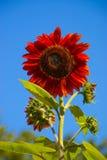 Sunflower Red Summer. Red sunflower with deep blue sky stock photos