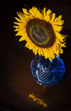 Sunflower Reflected. Single Sunflower in blue vase with reflection on table Stock Photo